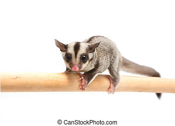 little sugar-glider climb the branch on white background