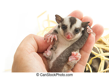 little sugar-glider rest in hand on white background