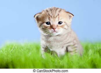 little tabby kitten Scottish on green grass