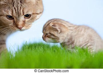little tabby kitten Scottish with mother cat on green grass