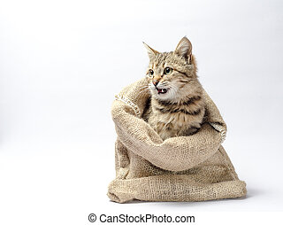 tabby kitten with green eyes in a sack on white background