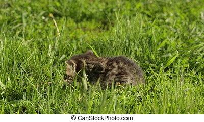 Little tabby kittens  on green grass HD