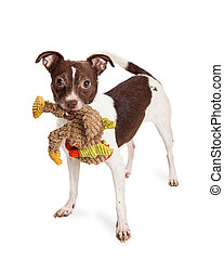 Little Terrier Crossbreed Dog With Plush Toy