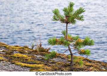 Little the pine.