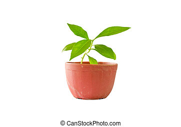 little tree in pot isolated