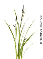 sedge - little tuft grass sedge on white background