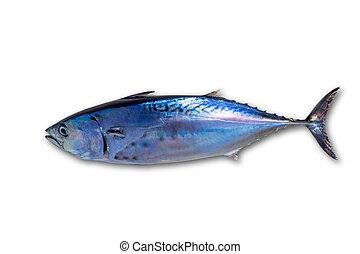Little tunny tuna fish Euthynnus affinis on white