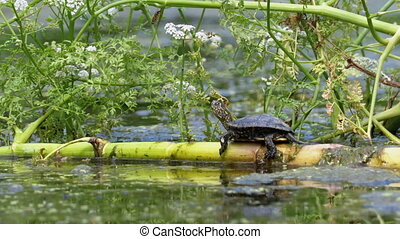 Little Turtle Sitting on a Green Algae in the Marsh. Turtle ...