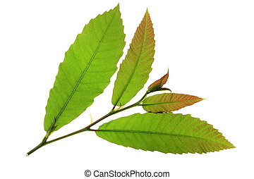 chestnut tree (maroon) - little twig with fresh leaves of ...