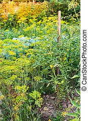 little vegetable garden in summer evening