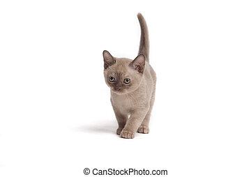 little walk - pretty little Burmese breed cat of pale color(...