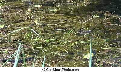 Little Water Frog( Rana lessonae) in spring pond. Spawning...