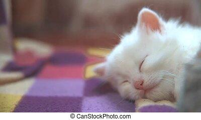 little white cute cute kitten sleeping on a checkered ...
