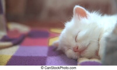 little white cute cute kitten sleeping on a checkered...