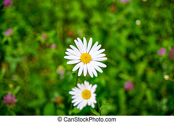 Little white daisies on the meadow