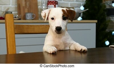 Little white dog at the table