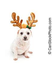 Little white dog with antler ears - A little white maltese...