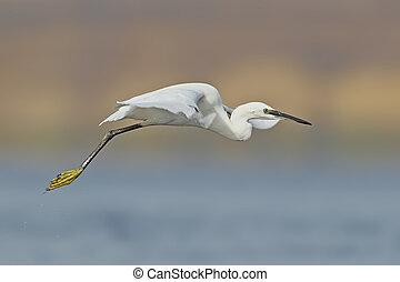 Little white egret flight