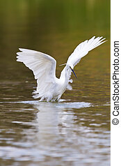 Little white egret hunting for food in water wing frighten ...
