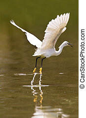 Little white egret take off from water jump flight