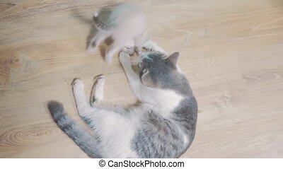 little white fluffy scottish kitten is played with mom cat ....