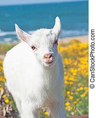 little white goat baby