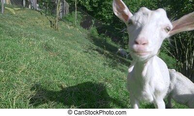 Little white goatlings graze in a green meadow on a sunny...