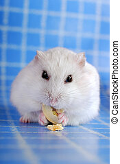 white hamster eating pumpkin seed