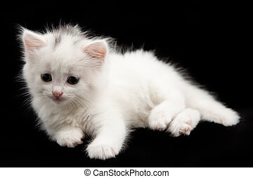 little white kitten  on a black background