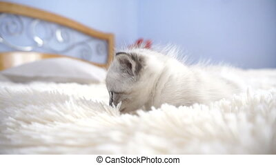 little white kitten on a fluffy blanket
