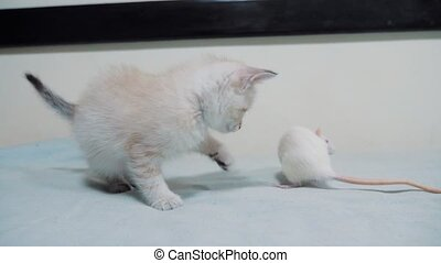 little white kitten playing hunts a rat mouse. funny rare...