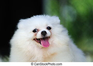 Little white pomeranian dog - Portrait of a little white...