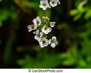 little white sakura like flowers 1