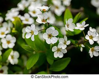 little white sakura like flowers 2