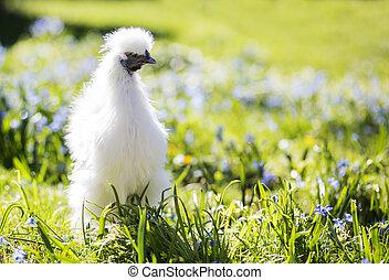 Little white silkie hen staring
