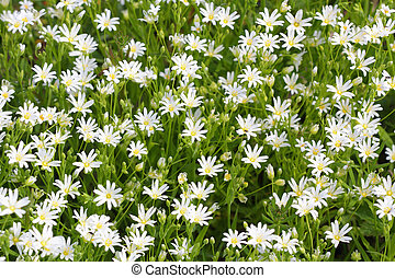 Little wild white flowers blooming in springtime