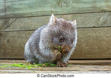 Little wombat, Vombatus ursinus,3 months old female while eating blades of grass inside Bonorong Wildlife Sanctuary, Hobart, Tasmania, Australia.