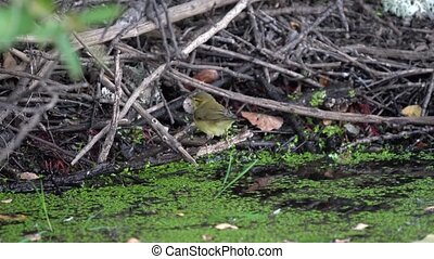Little yellow bird drinking water from the river and flying out of the scene