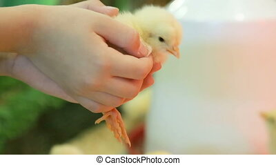 Little yellow chicken in child's hands