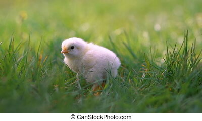 Little yellow chicken sitting in green grass, moving heads...