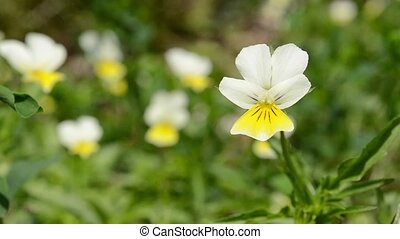Little Yellow Forest Pansy