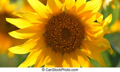 Little young blooming sunflower on the field
