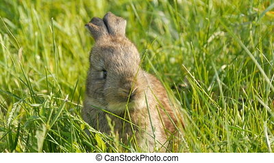 Little young brown rabbit or hare runs in the green grass in spring. Easter concept. Close up view.