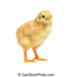 little young chicken isolated on white background