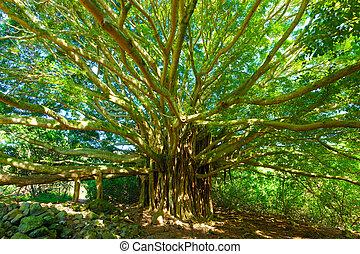 liv, forbløffende, banyan træ
