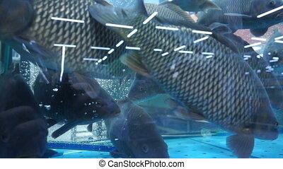 Live big fish of river behind glass of shop aquarium, slow...