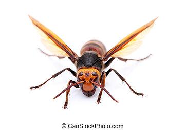 live big hornet on white background