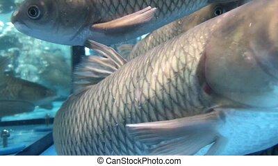 Live carp fish swim in an aquarium in the market. - Live...
