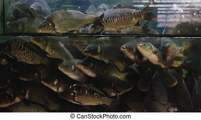 Live fresh water fishes in glass aquarium in supermarket