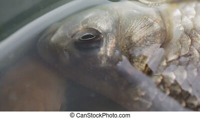 Live carp in water - Lying in bowl caught live fish